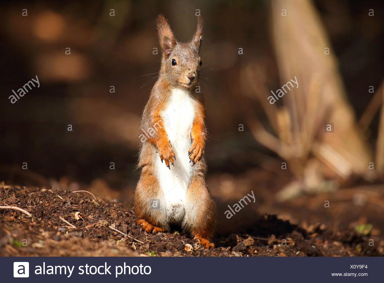 L'écureuil roux européen eurasien, l'écureuil roux (Sciurus vulgaris), assis sur les pattes sur le sol, Allemagne Photo Stock