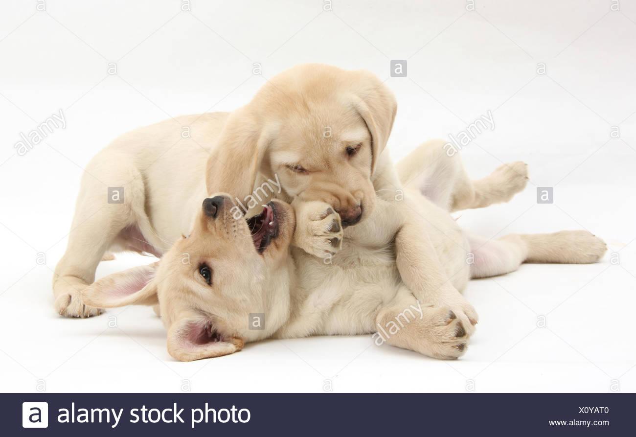 Chiots Labrador Retriever jaune, 9 semaines, play-combats. Photo Stock