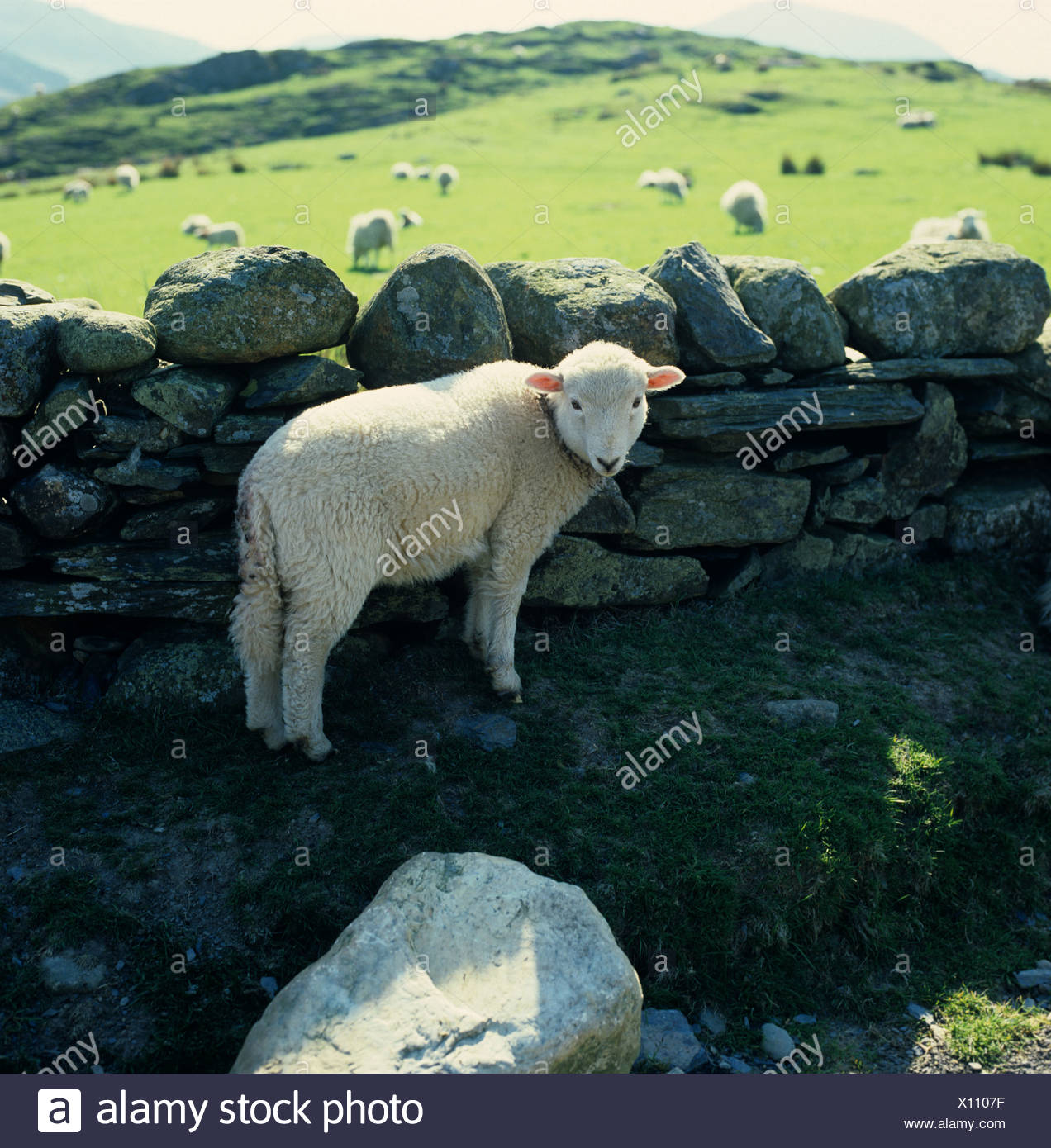 Welsh mountain sheep mise à l'abri de la lampe par un mur en pierre sèche dans la région de Snowdonia, Pays de Galles Photo Stock