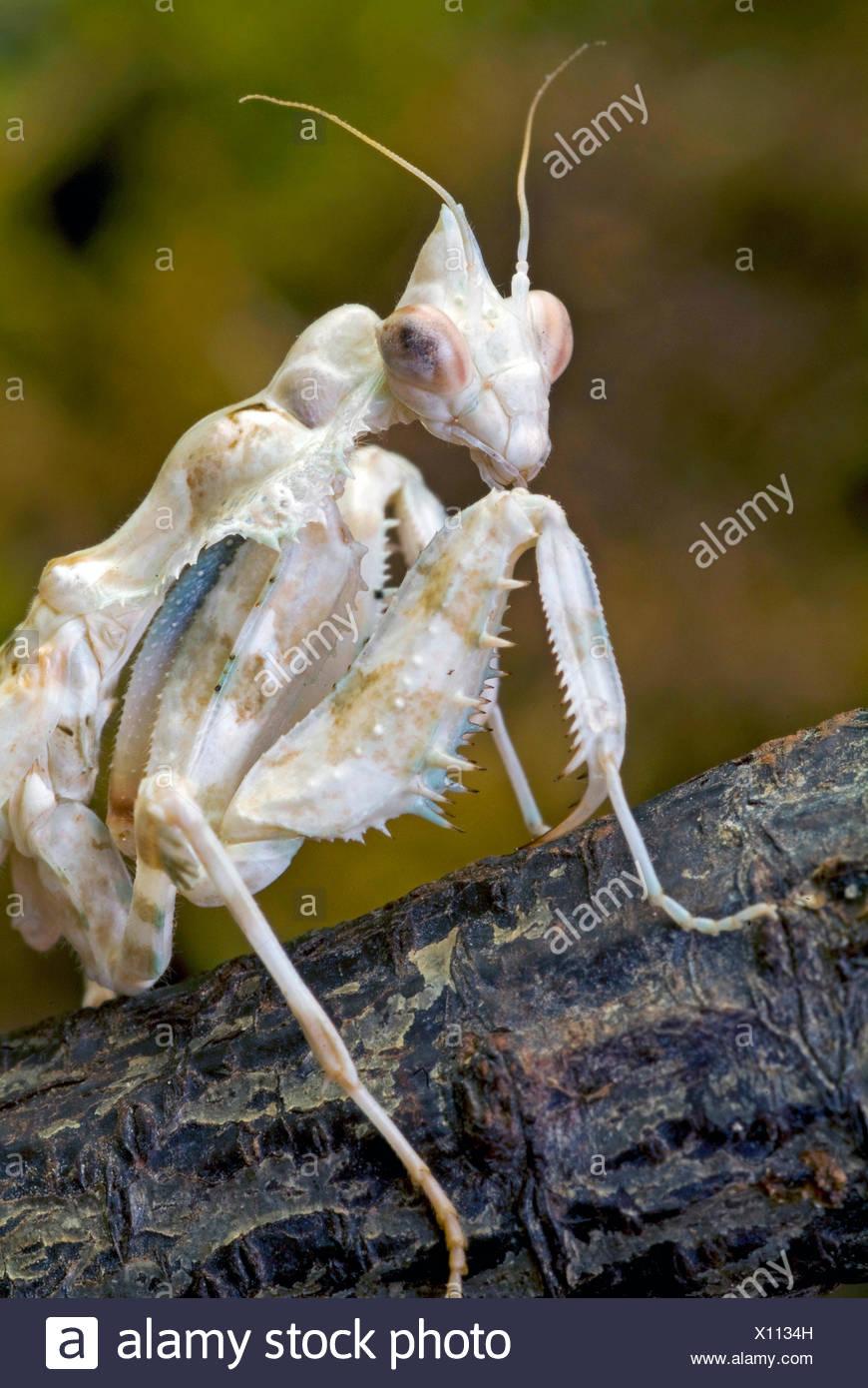 Feuille morte d'Amérique du Sud (Mantis Acanthops falcata), assis sur une branche Photo Stock