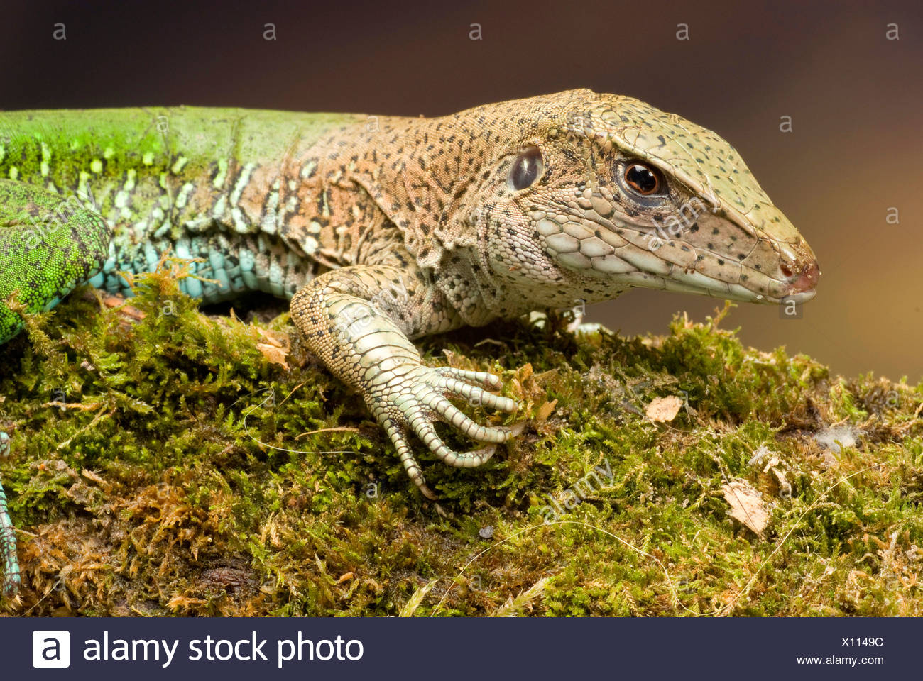 Jungle runner (Ameiva ameiva), portrait Photo Stock