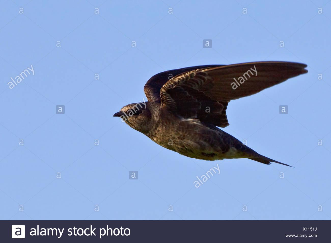 (Progne subis Hirondelle volant) et la chasse aux insectes près de Long Point, en Ontario, Canada. Banque D'Images