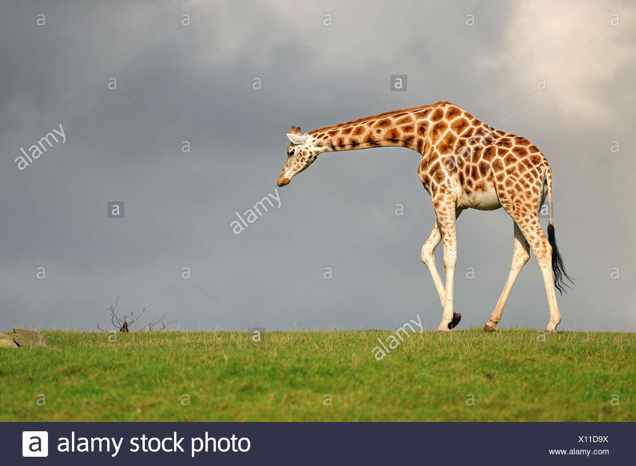 Girafe marche face au ciel noir Photo Stock