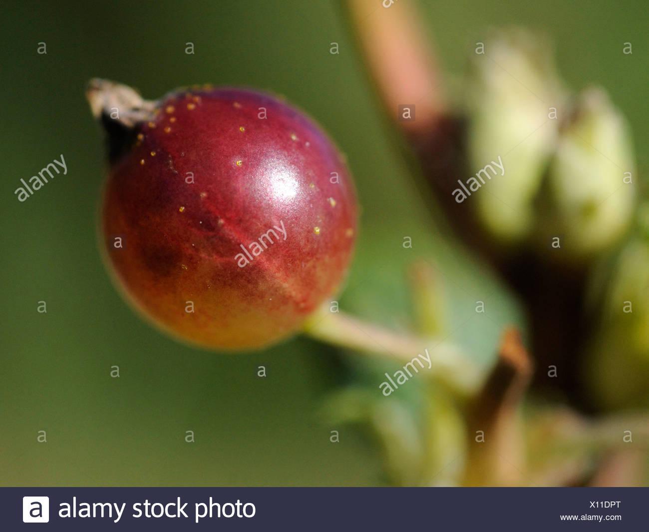 Un seul dessert rouge groseille groseille sur un bush Photo Stock
