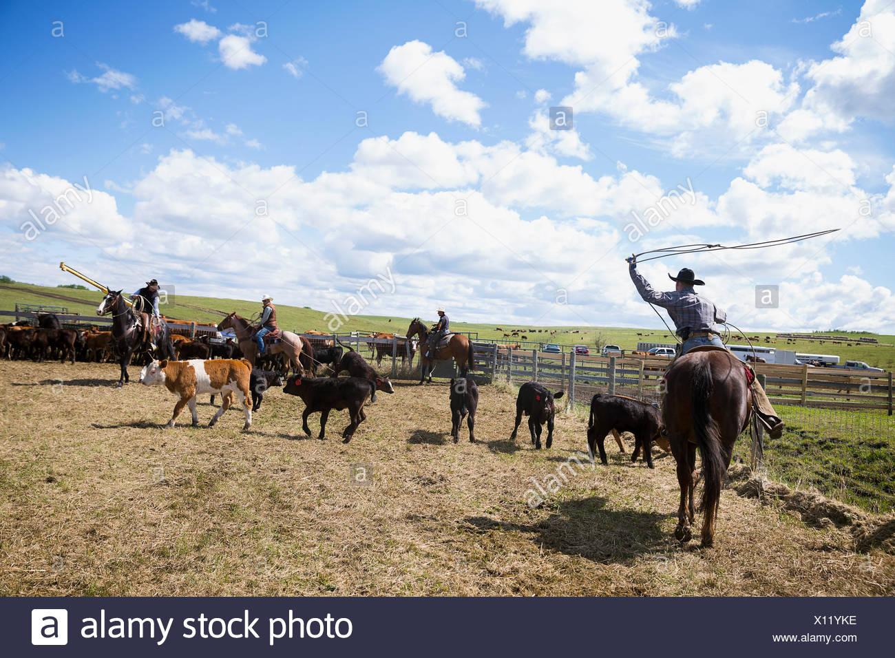 Les éleveurs de bétail à cheval lasso vaches Photo Stock