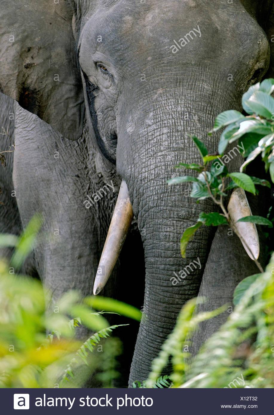 Bornes d'Éléphants nains borneensis (Elephas maximus), portrait, Malaisie, Bornéo, Sabah, rivière Kinabatangan Photo Stock