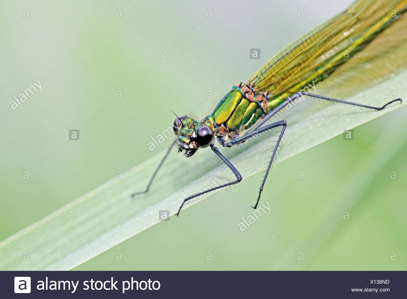 Belle Demoiselle, Calopteryx virgo, seule la partie supérieure du corps Photo Stock