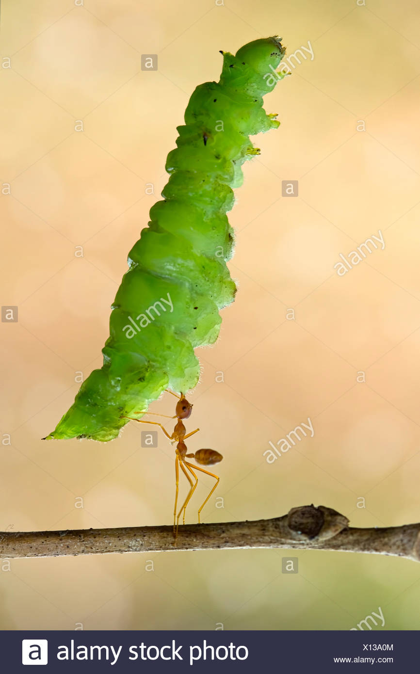 L'érable grandifolié ant Photo Stock