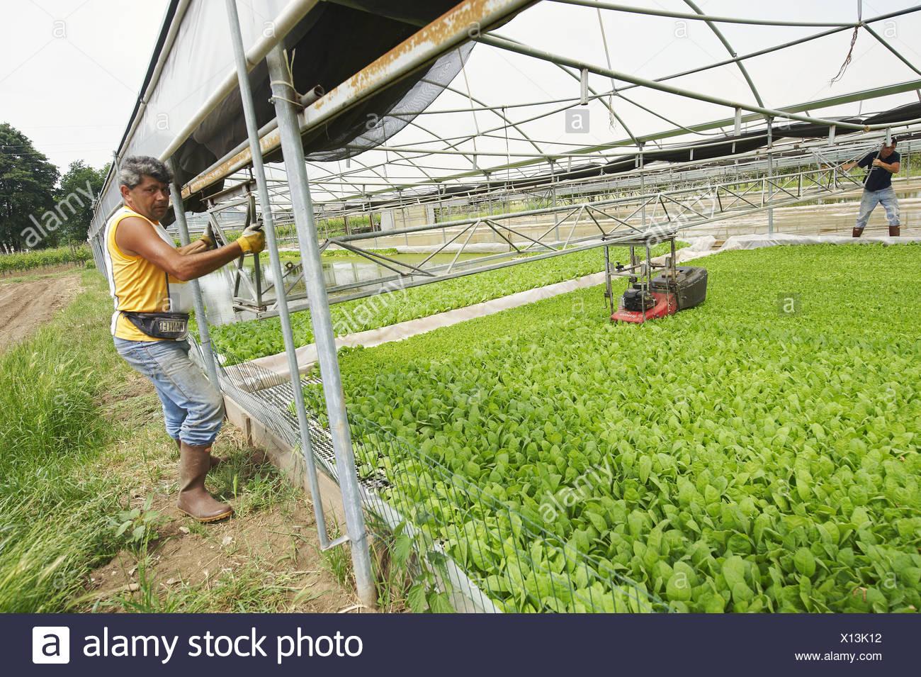 deux travailleurs faire fonctionner une machine couper les feuilles de jeune plante de tabac. Black Bedroom Furniture Sets. Home Design Ideas