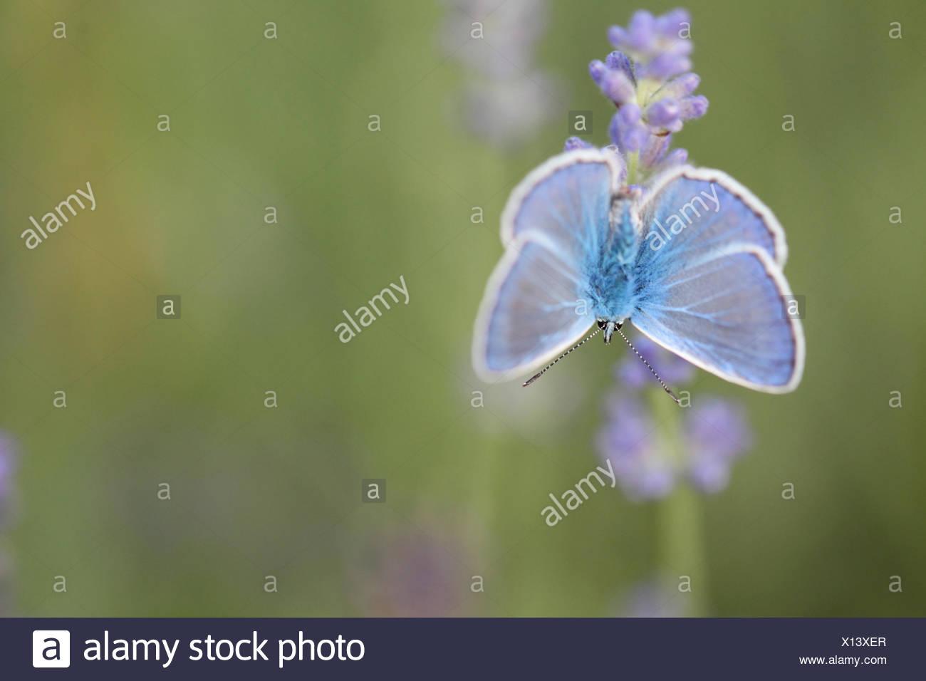 Portrait d'un papillon bleu, Polyommatus icarus, sur une fleur de lavande, Lavandula angustifolia. Photo Stock