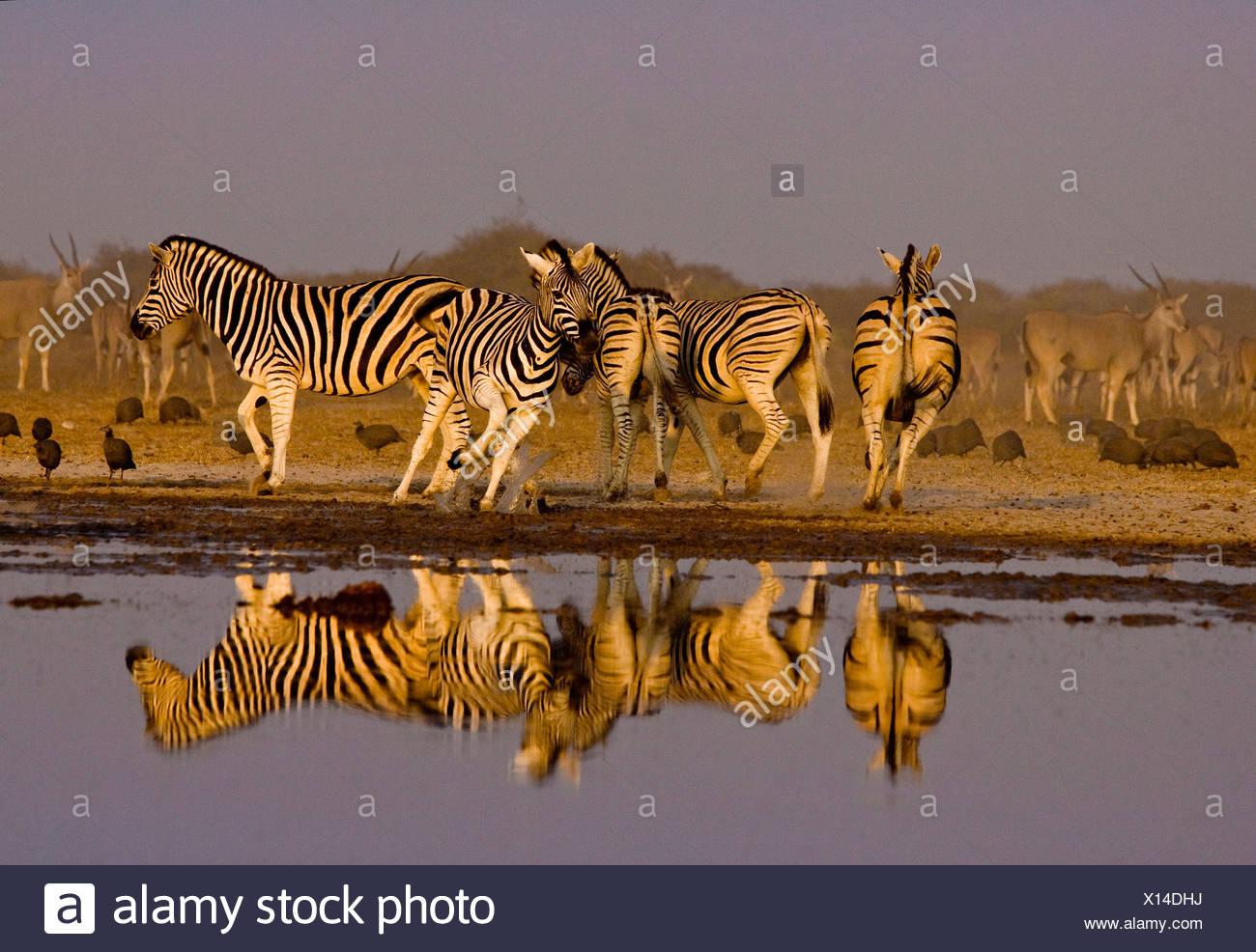 Les zèbres reflète au waterhole, Etosha National Park, Namibie. Photo Stock