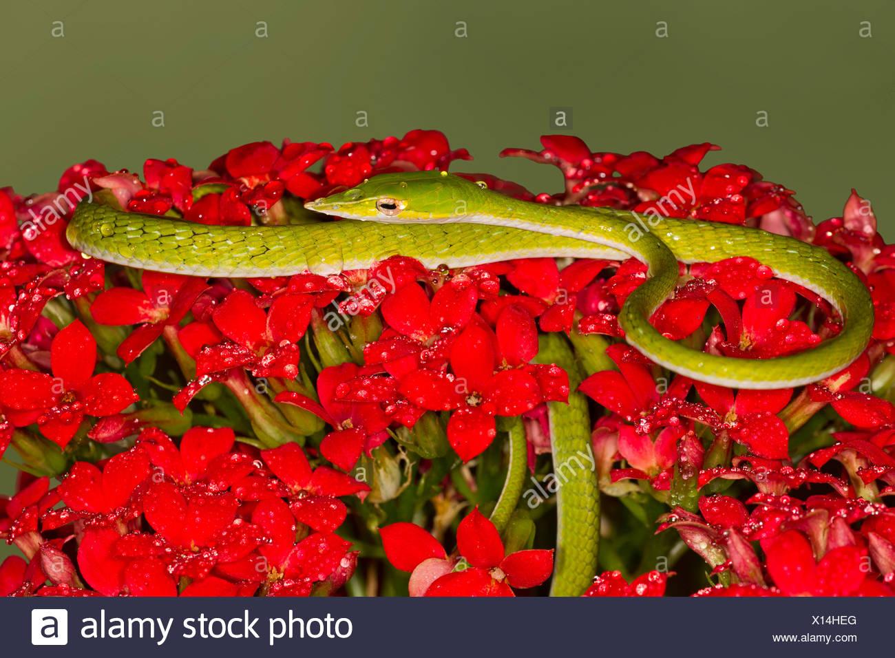Serpent de vigne verte (Ahaetulla nasuta) sur les fleurs Banque D'Images