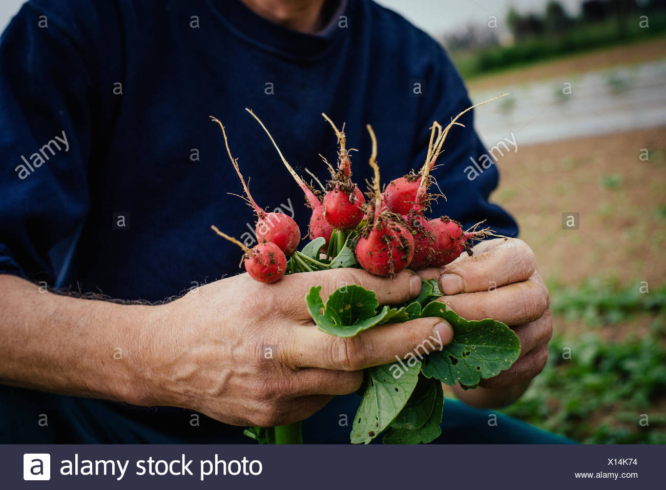 Man holding bunch de radis Photo Stock