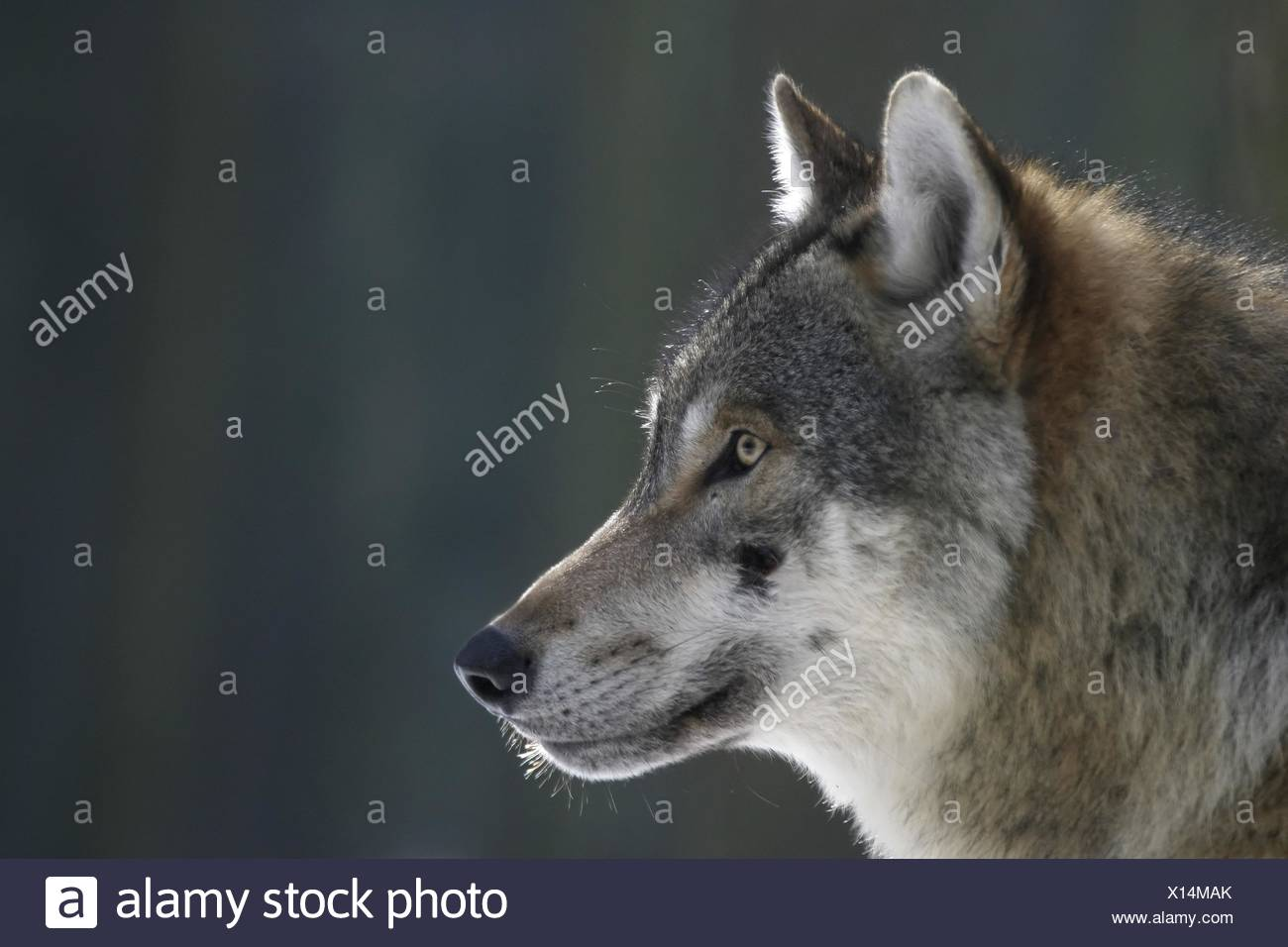 Portrait de loup européen Photo Stock