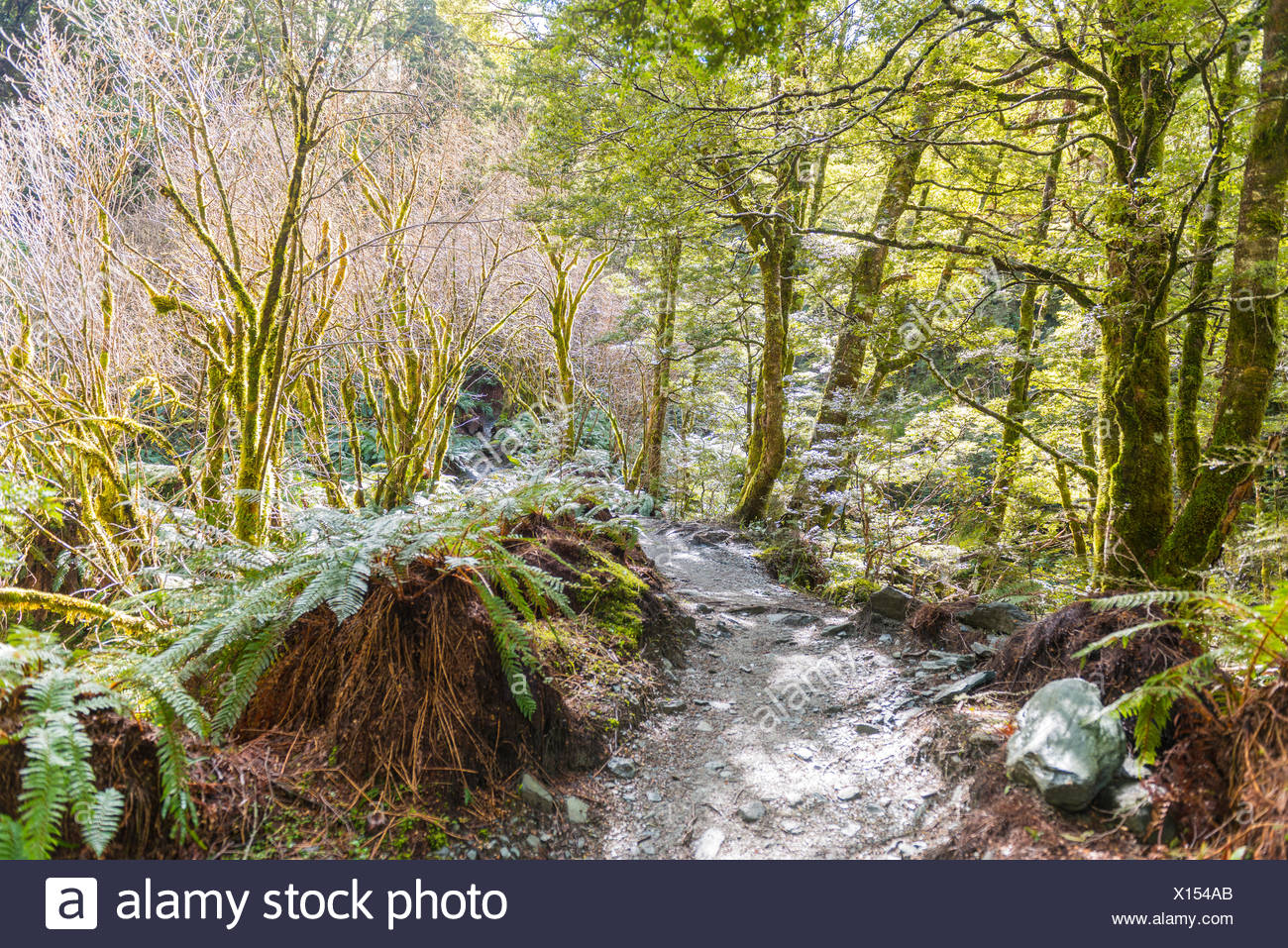 Sentier à travers forêt avec fougère, la végétation alpine, Mount Aspiring National Park, Otago, Nouvelle-Zélande, Southland Photo Stock