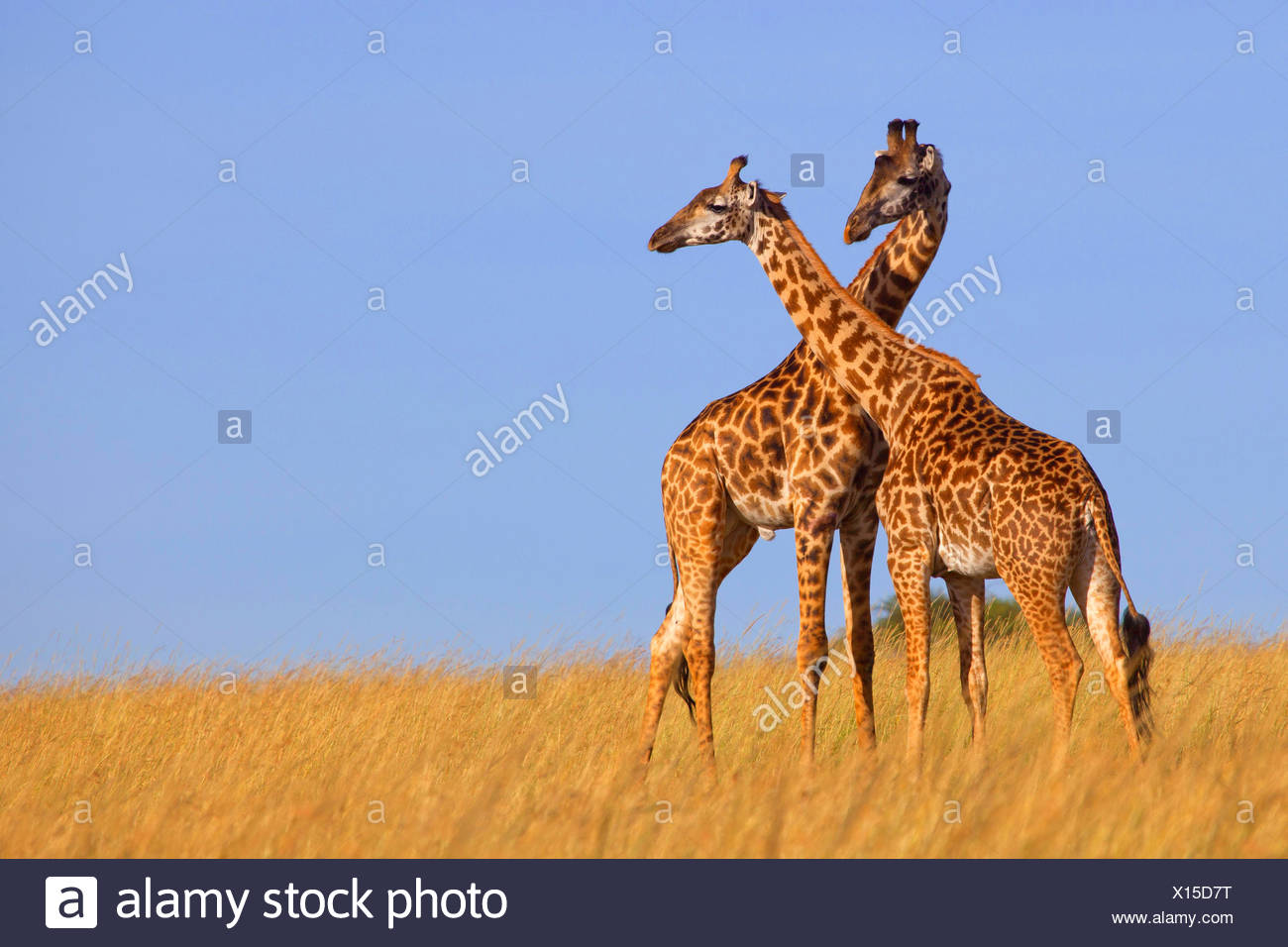 Les Masais Girafe (Giraffa camelopardalis tippelskirchi), deux girafes dans la savane, Kenya, Masai Mara National Park Photo Stock