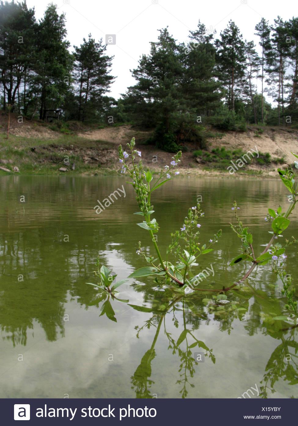 Véronique De l'eau, l'eau bleu-speedwell, brook-pimpernell (Veronica anagallis-aquatica), qui fleurit dans un étang, Allemagne, Rhénanie du Nord-Westphalie Photo Stock