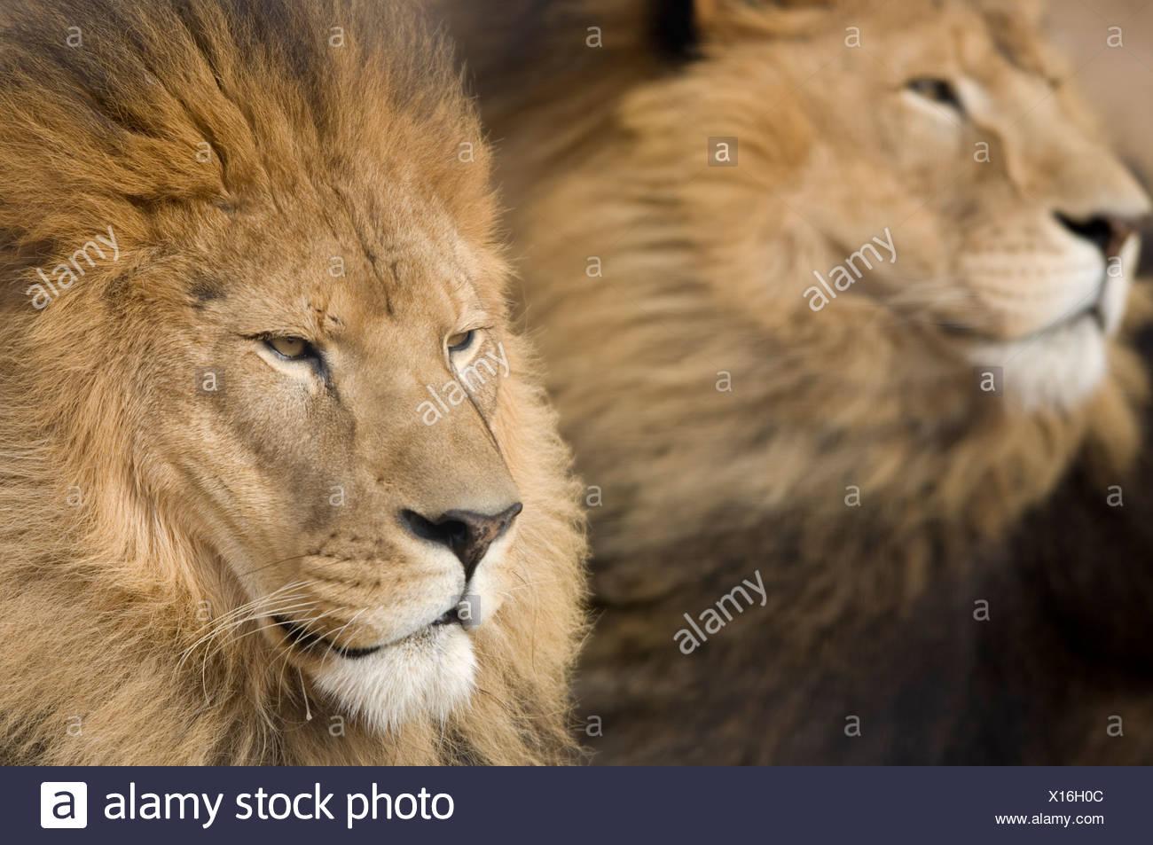 L'Afrique de l'homme lions (Panthera leo) dans les collines de la faune Aventure. Photo Stock
