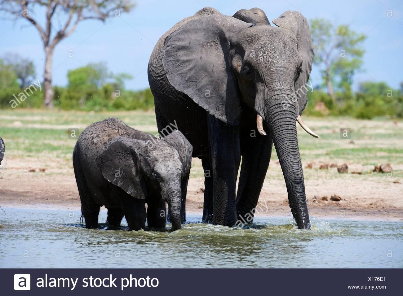 Mère et son petit éléphant d'Afrique (Loxodonta africana) de l'alcool à un watehole. Le parc national de Hwange, Zimbabwe. Photo Stock