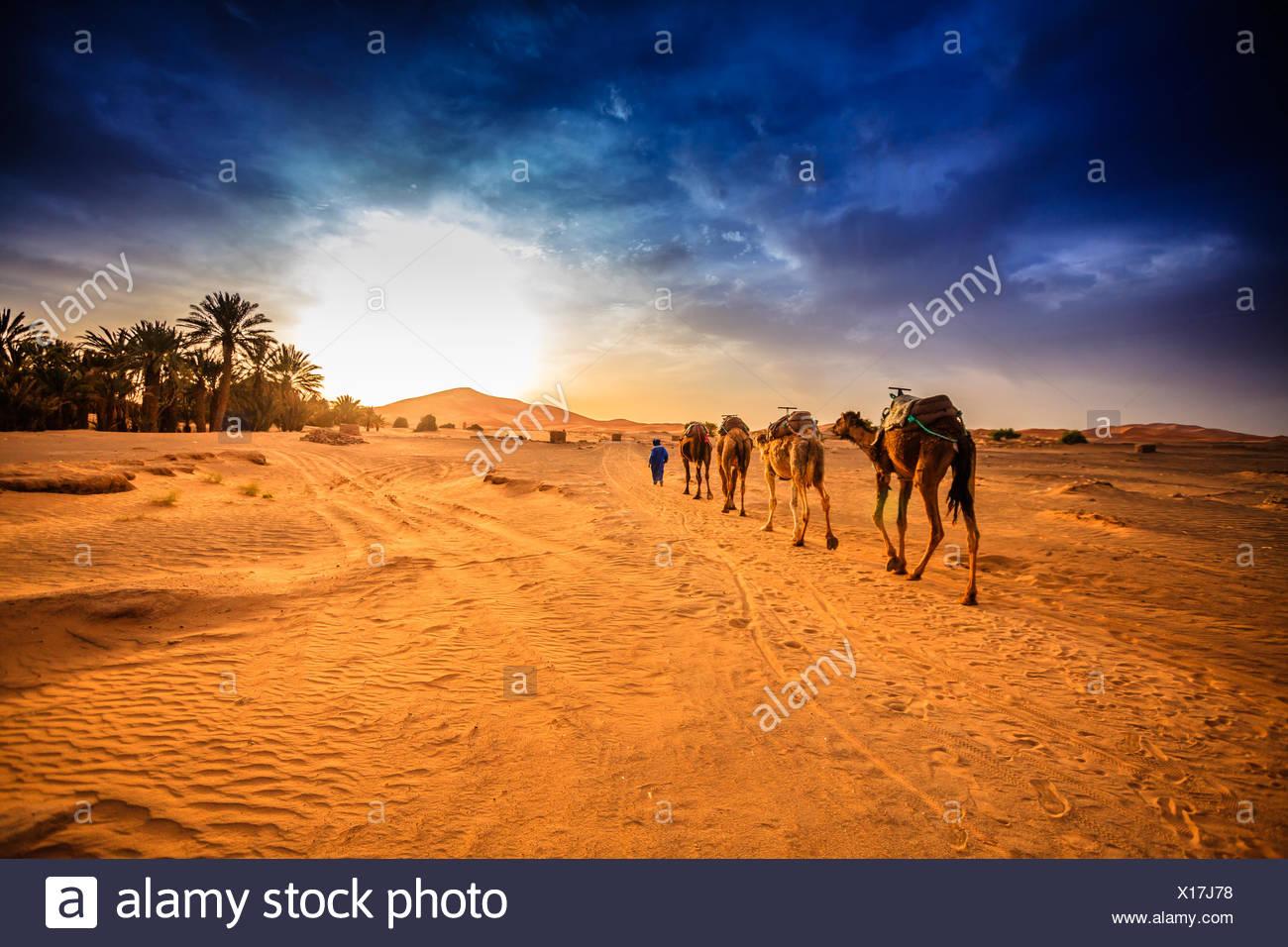 Caravane de chameaux dans le désert du Sahara, Maroc Photo Stock