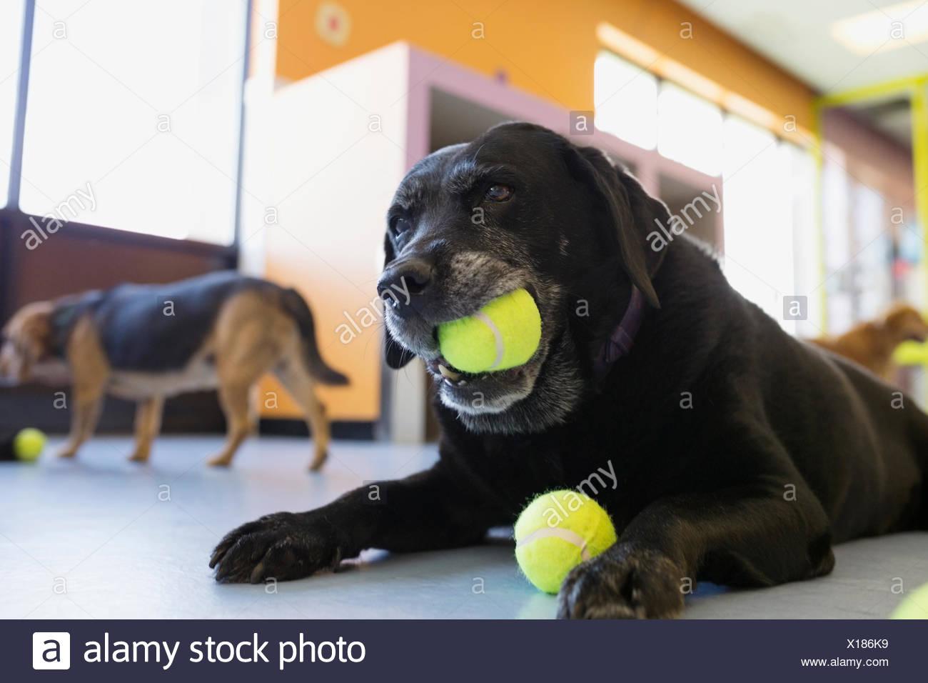 Labrador noir de mâcher de la balle de tennis Photo Stock