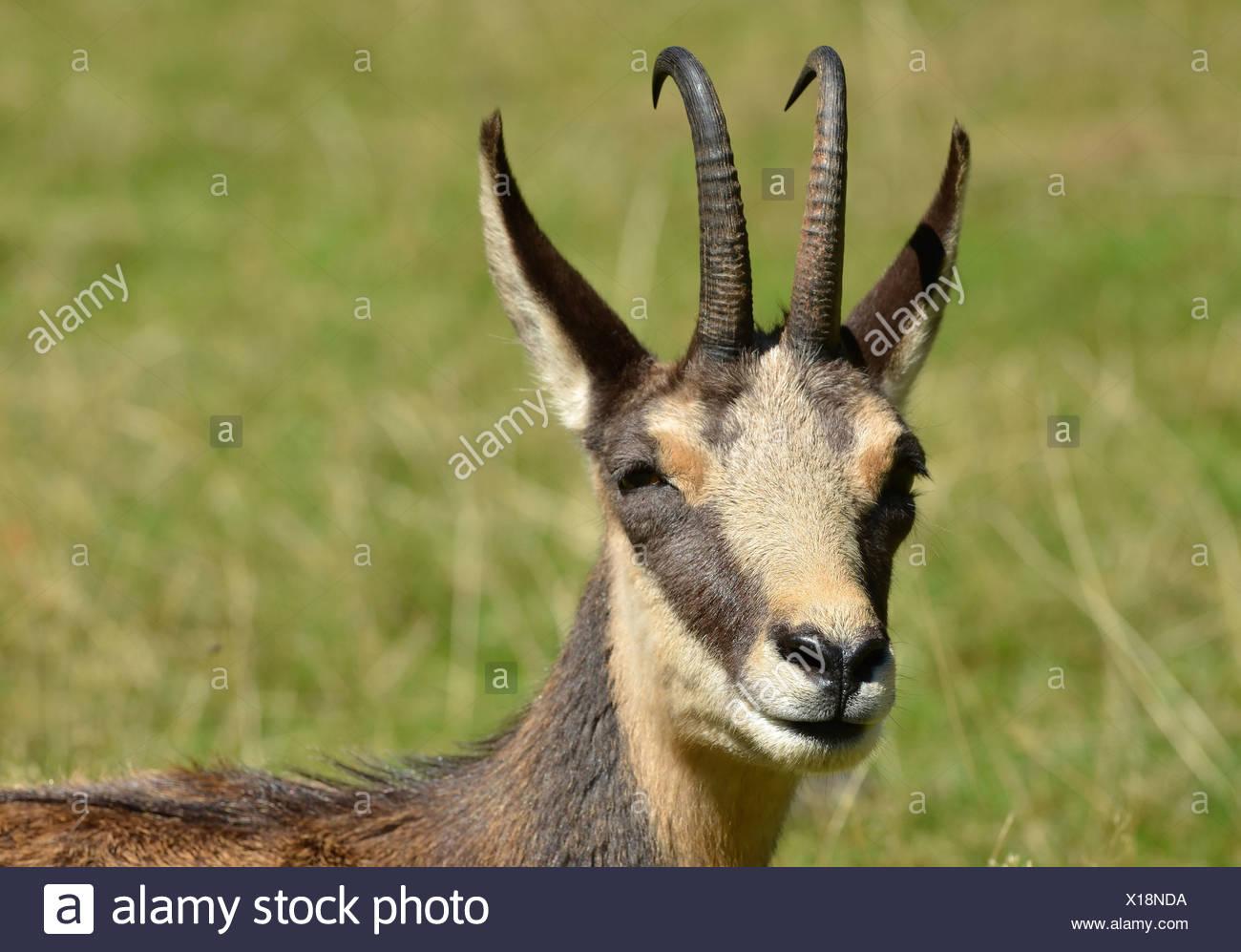 Portrait monochrome d'un chamois, une antilope de montagne européennes, chassés pour la peau qui a été utilisé pour les lingettes de nettoyage chammy Banque D'Images