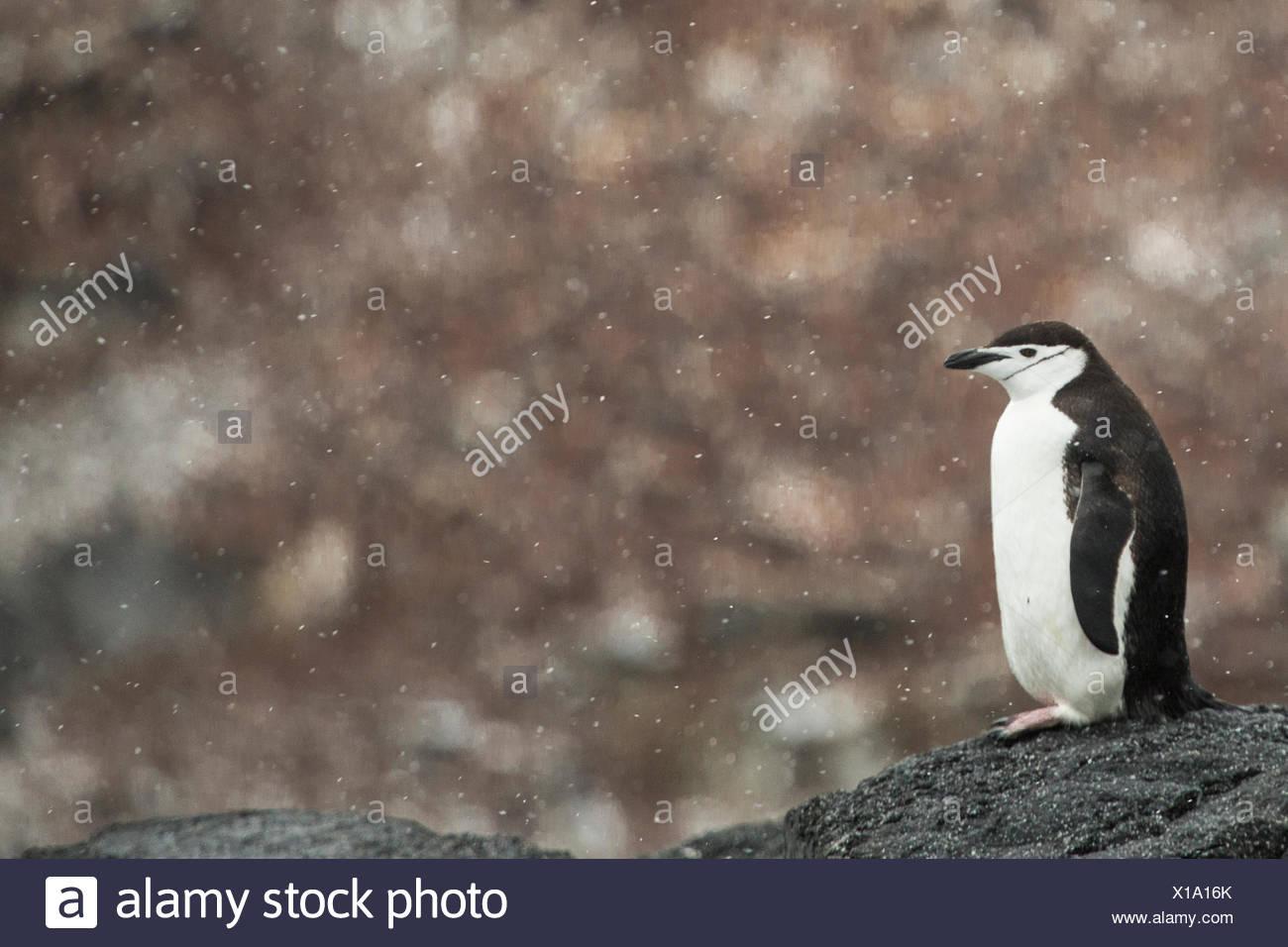 Une jugulaire penguin, Pygoscelis antarctica, une légère averse de neige. Photo Stock