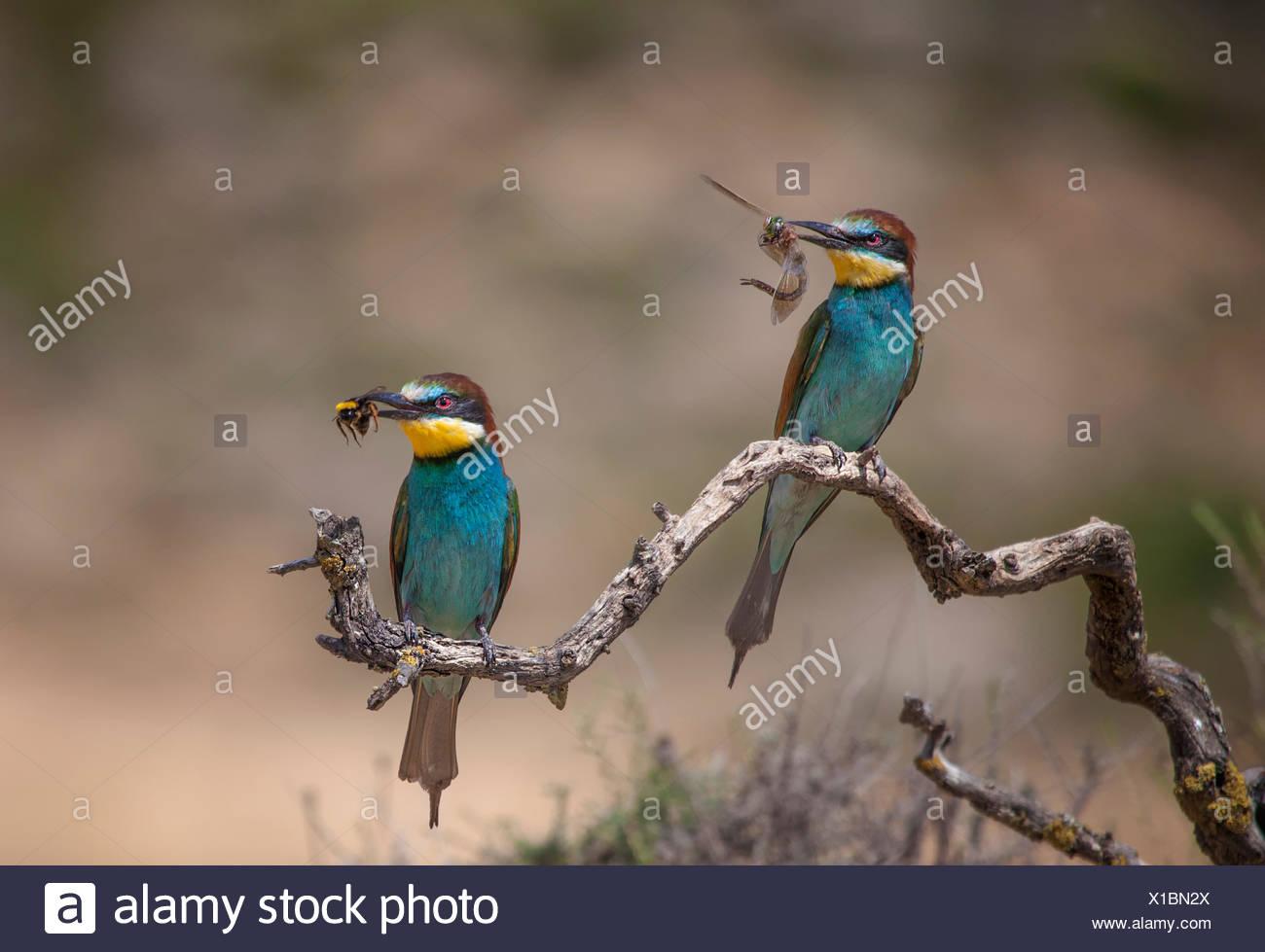 L'Espagne, deux des guêpiers avec prier assis sur la branche Photo Stock
