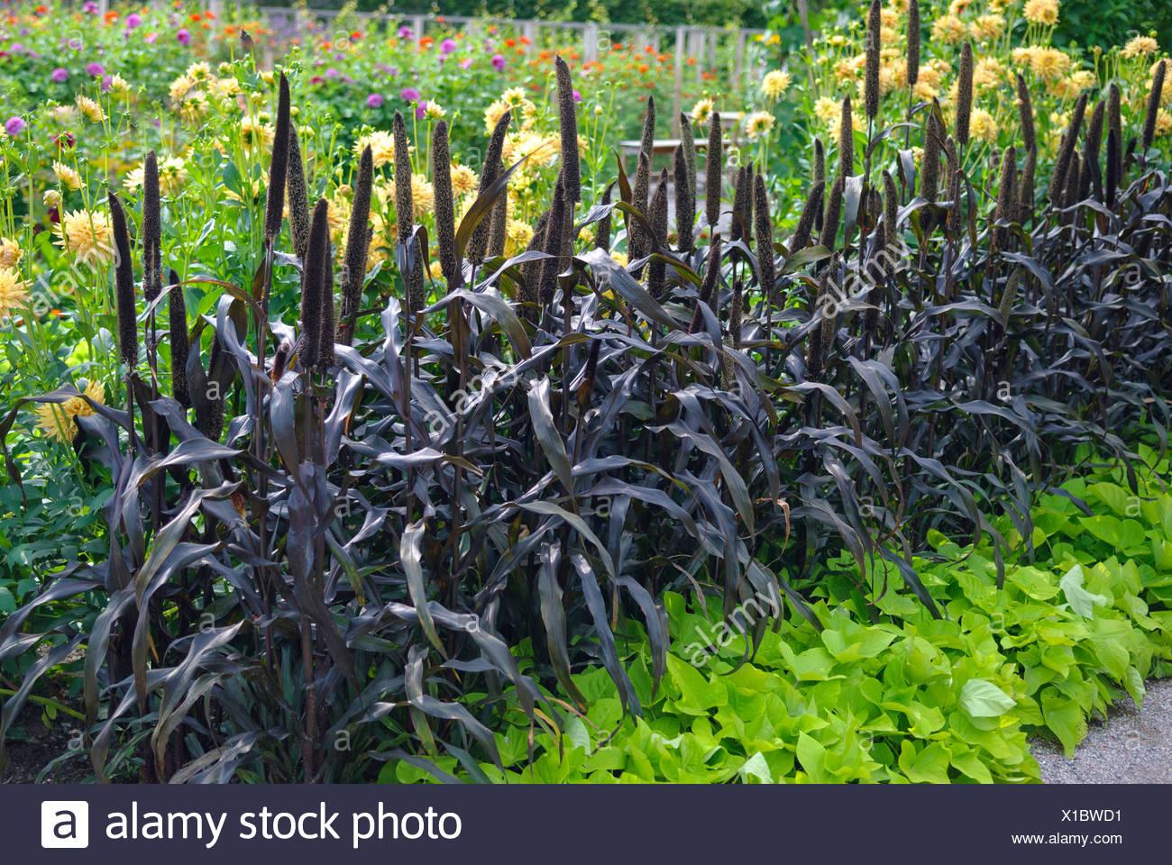 Le millet perlé (Pennisetum glaucum 'Purple Majesty', Pennisetum glaucum Purple Majesty), le cultivar Purple Majesty Photo Stock