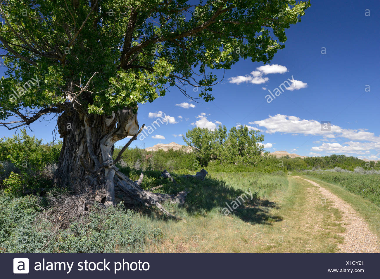 Arbre généalogique Cottonwood Populus - freemontii - les Badlands, le parc provincial Dinosaur, en Alberta, Canada Banque D'Images