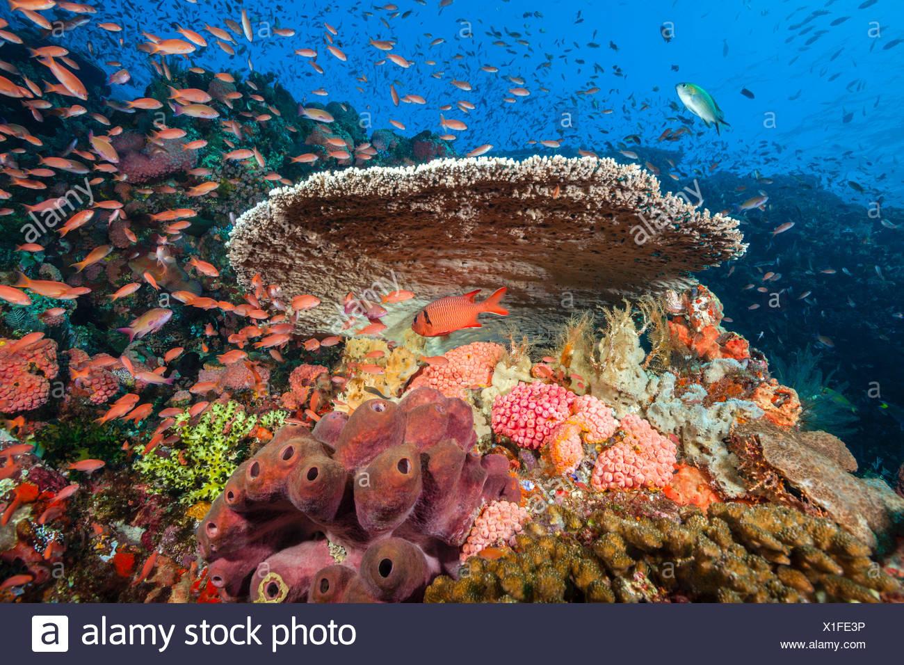 Les récifs coralliens colorés, le Parc National de Komodo, Indonésie Photo Stock