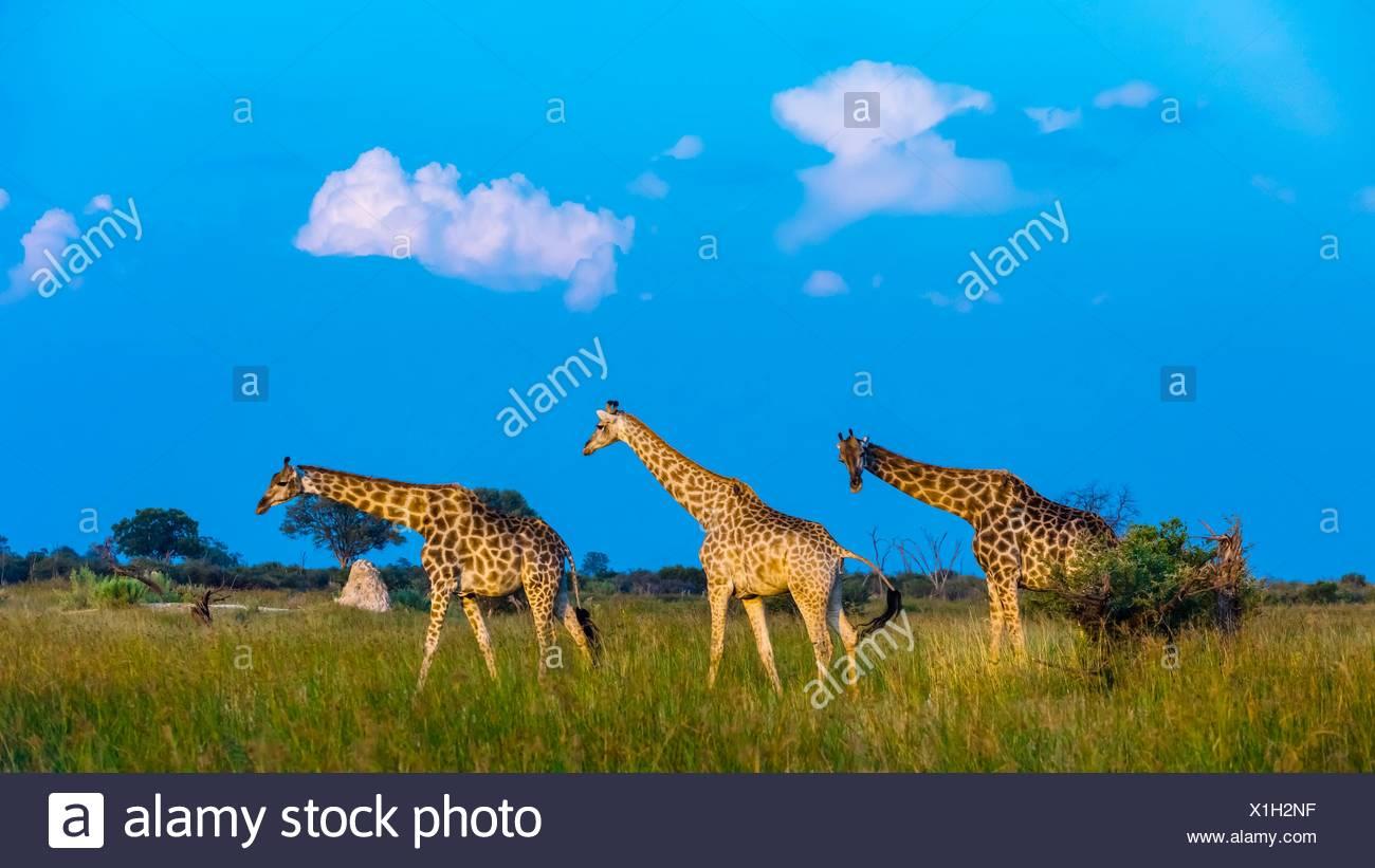 Les Girafes en déplacement, Concession Kwando, Marais, Linyanti Botswana. Photo Stock