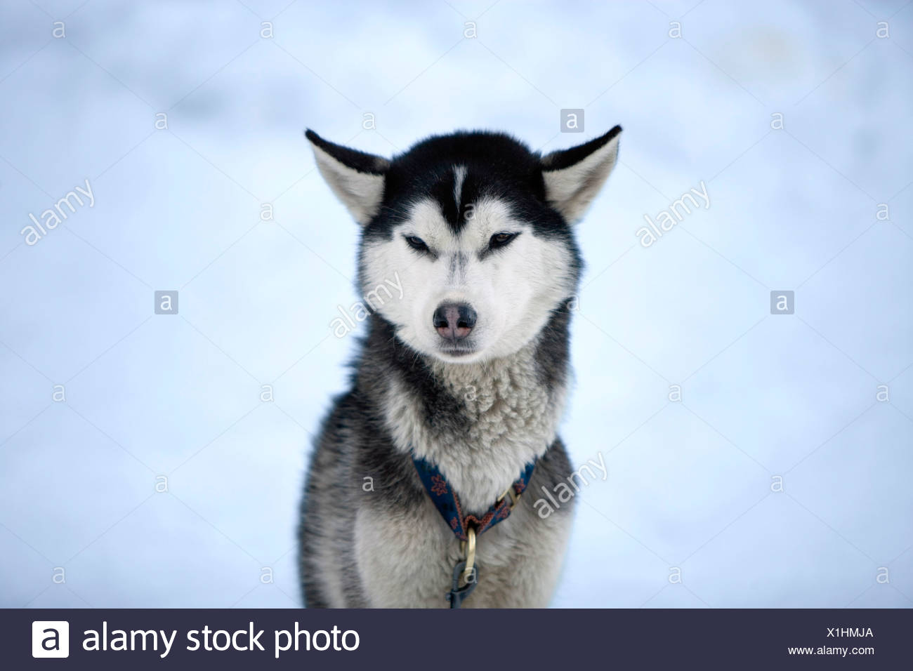 Husky de Sibérie, portrait Photo Stock