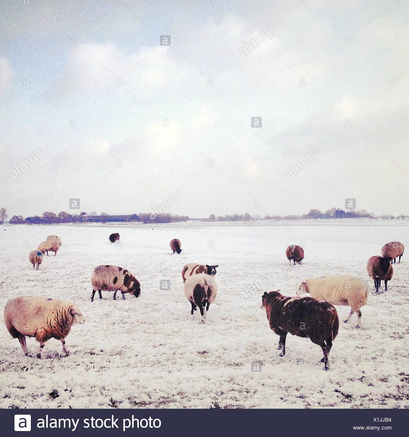 Troupeau de moutons au pâturage à l'hiver Photo Stock