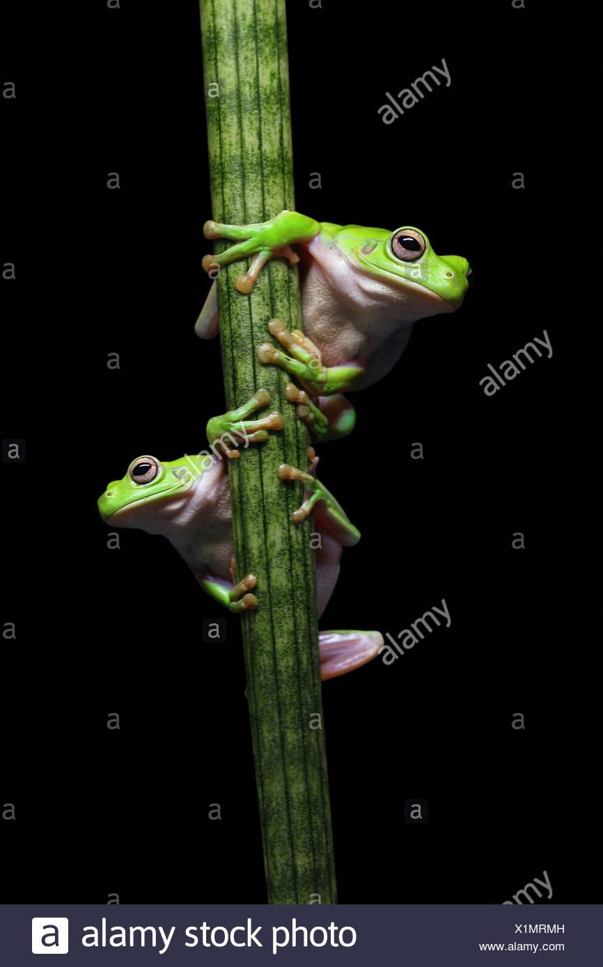 Deux grenouilles grimpant sur une plante Photo Stock