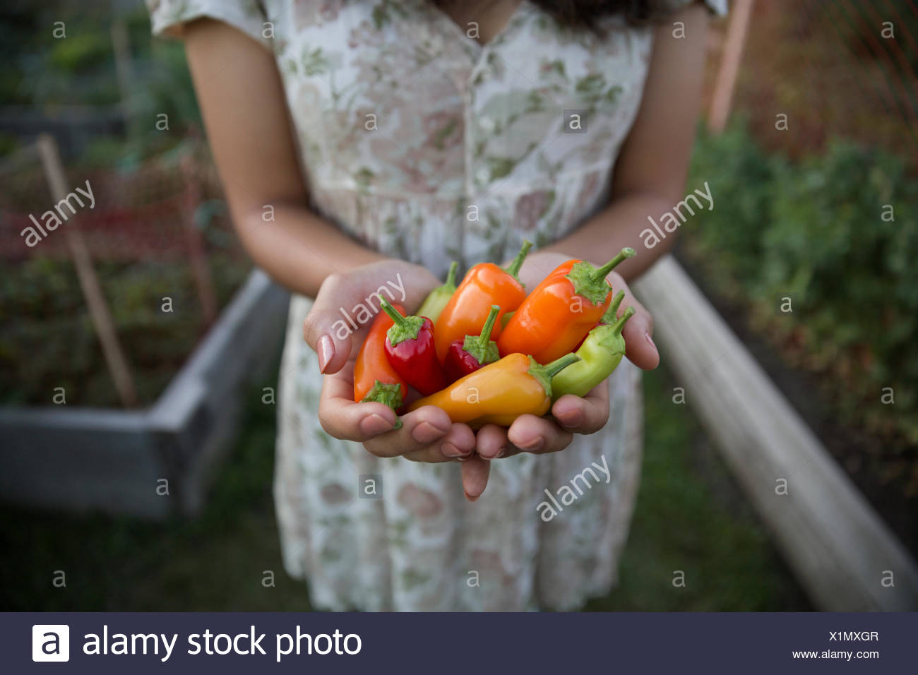 Close up adolescent multicolore holding peppers in garden Photo Stock