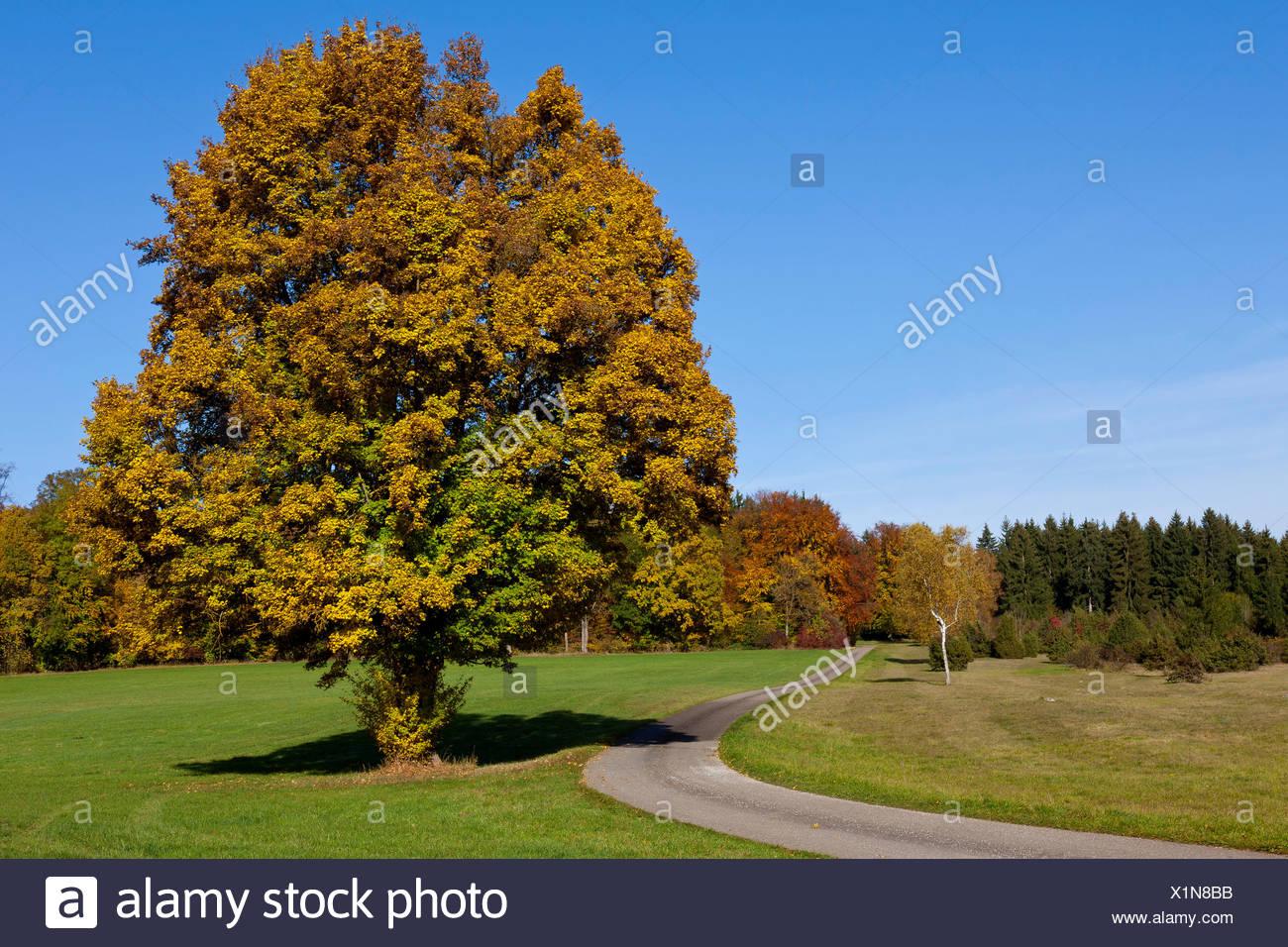 Chemin à travers un champ avec des arbres d'automne, Gerstetten, Jura souabe, Palatinat, Bade-Wurtemberg, Allemagne Photo Stock