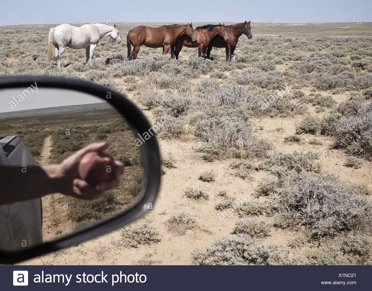 USA, Wyoming, chevaux et reflet de la main avec Apple dans le rétroviseur Photo Stock