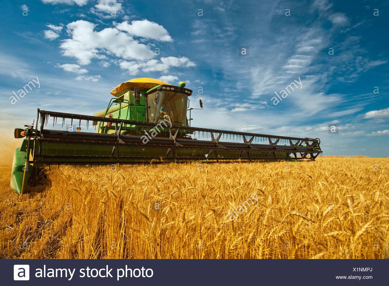 Agriculture - une moissonneuse-batteuse John Deere la maturité des récoltes de blé d'hiver en fin d'après-midi / lumière près de Kane, Manitoba, Canada. Photo Stock