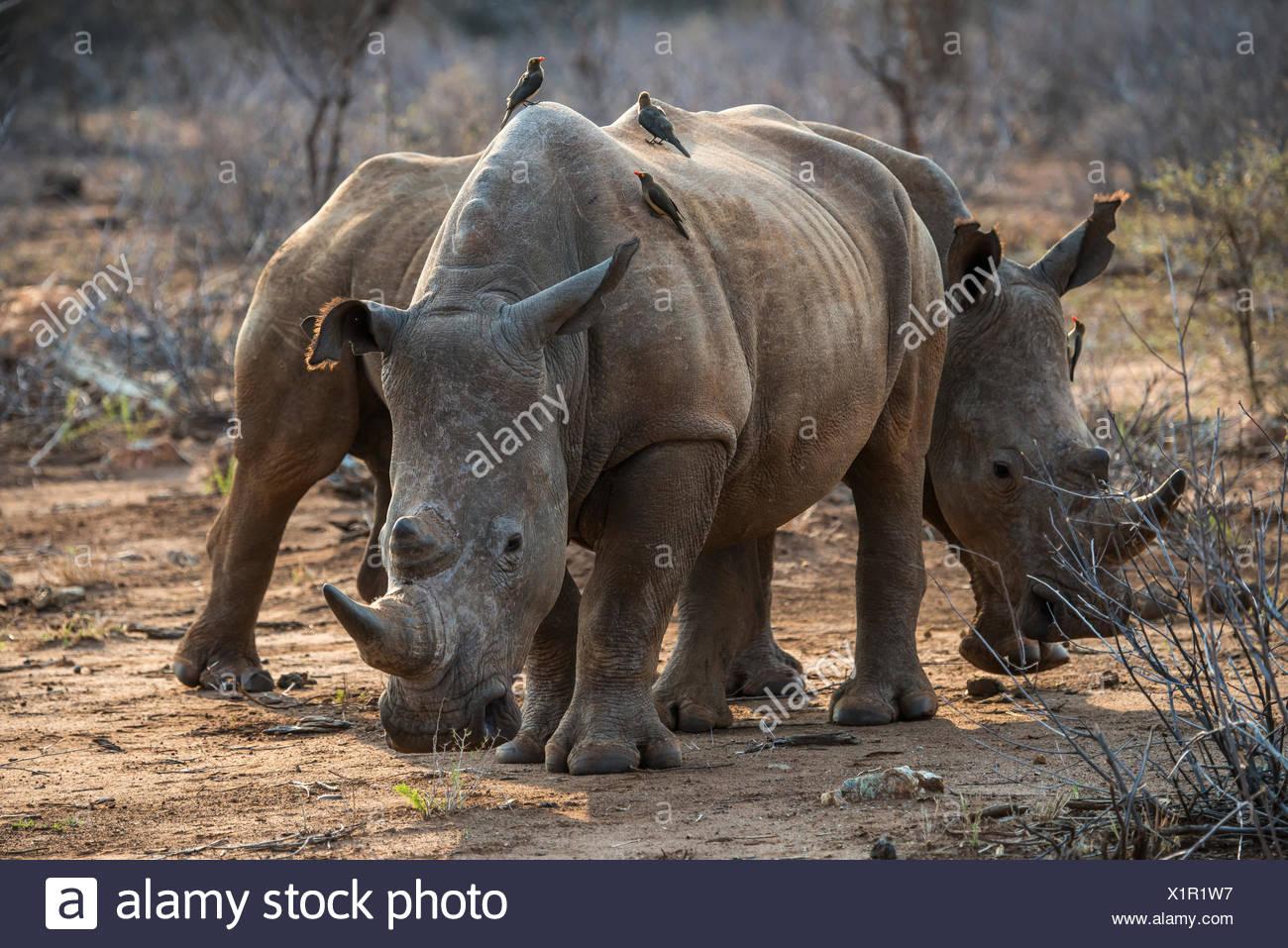 Le rhinocéros blanc (Ceratotherium simum) avec les pirates à bec rouge (Buphagus erythrorhynchus) à l'arrière, Madikwe Game Reserve Photo Stock