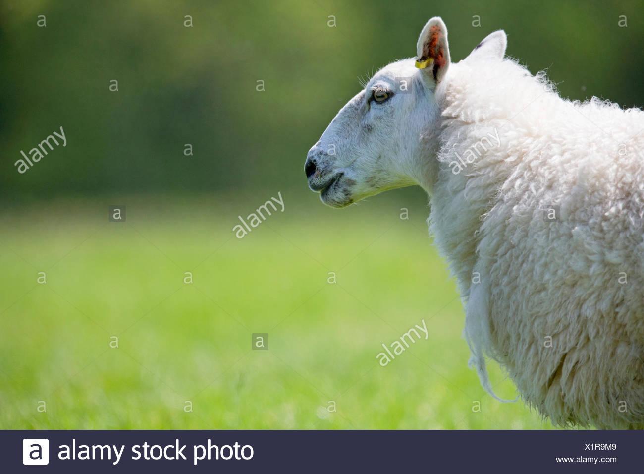 Vue latérale du mouton dans l'herbe verte ensoleillée Photo Stock
