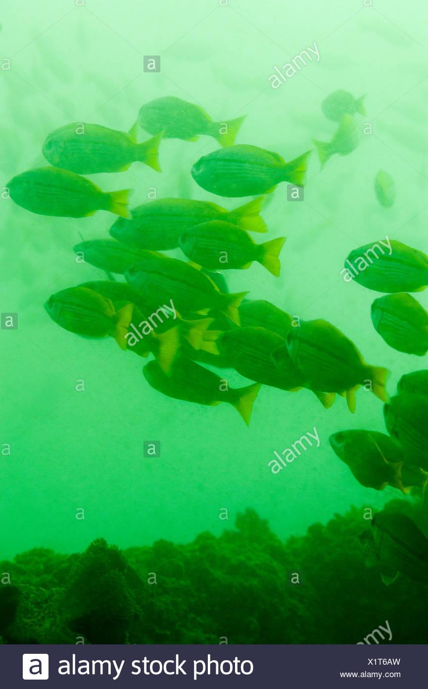 L'École de poissons dans les eaux riches en éléments nutritifs vert si le golfe d'Oman. Photo Stock