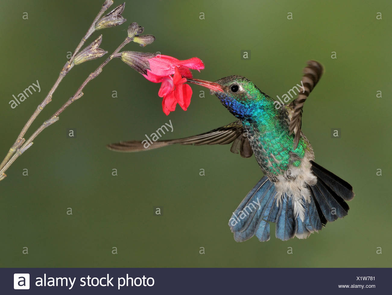 Homme large-billed Hummingbird (Cynanthus latirostris) planer à côté de fleur à tête d'éléphant étang, Arizona, USA Photo Stock