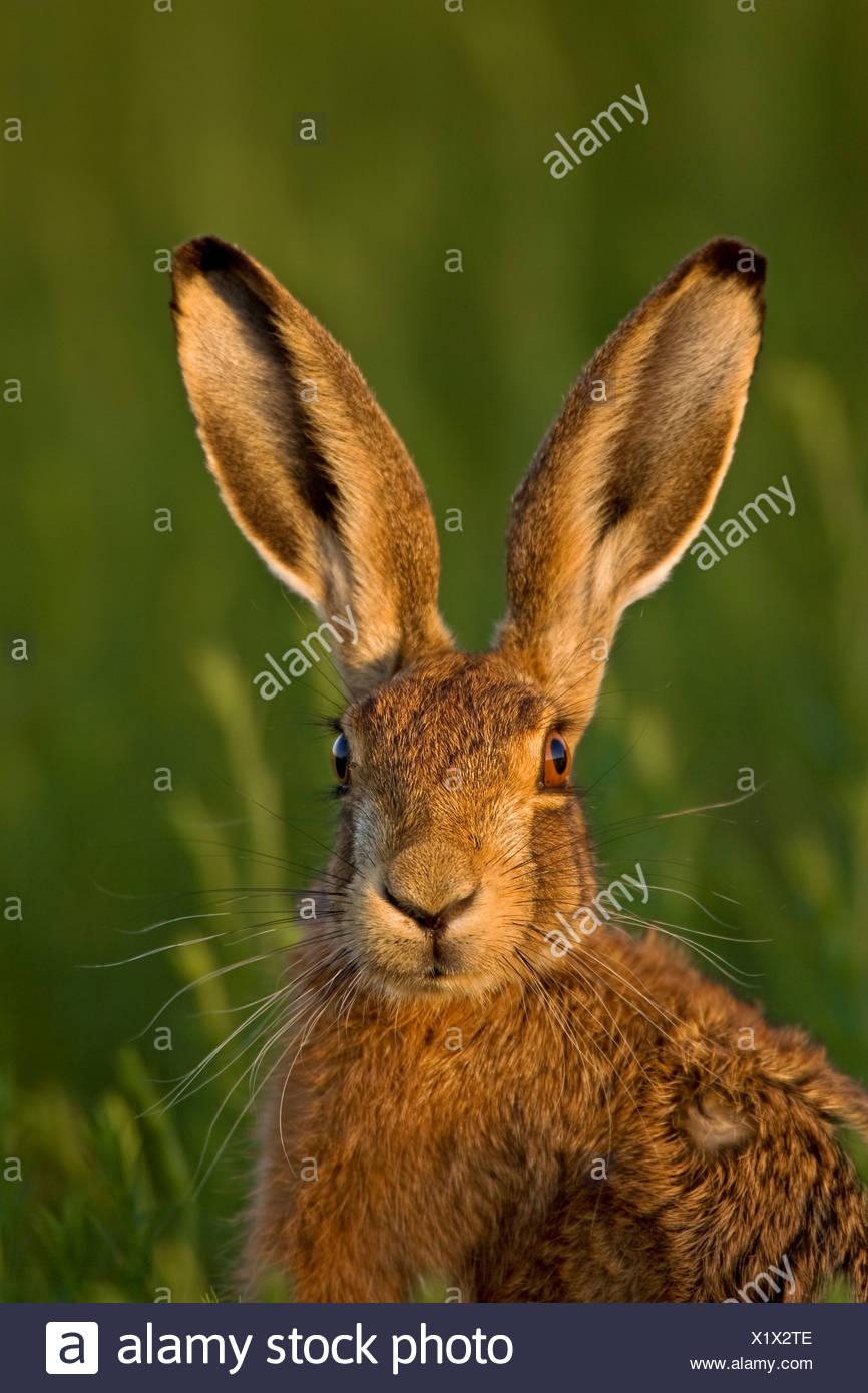 European Brown Hare (Lepus europaeus) dans la lumière du soir. Photo Stock