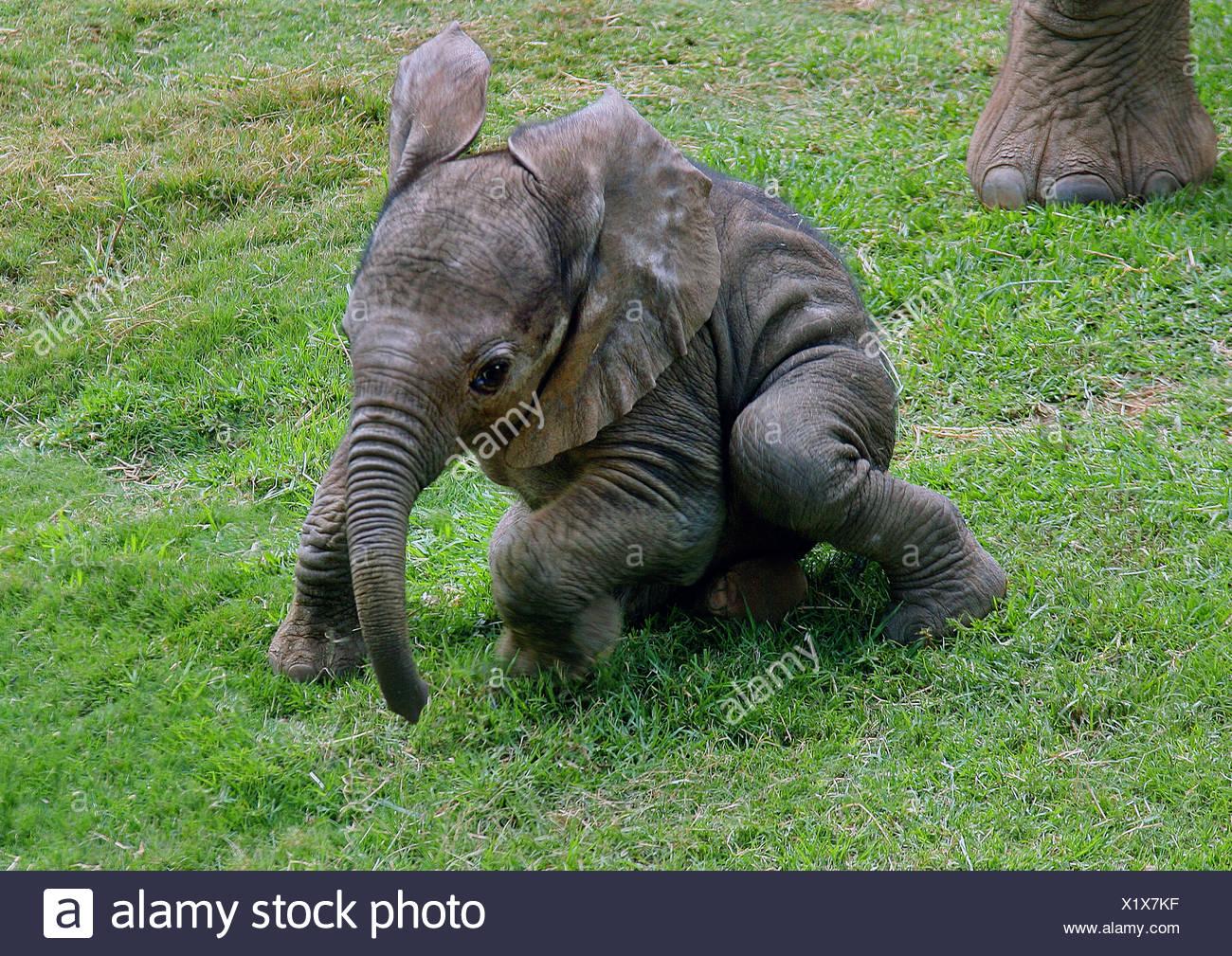 L'éléphant africain (Loxodonta africana), bébé éléphant dans un pré, Parc National d'Amboseli, Kenya Photo Stock