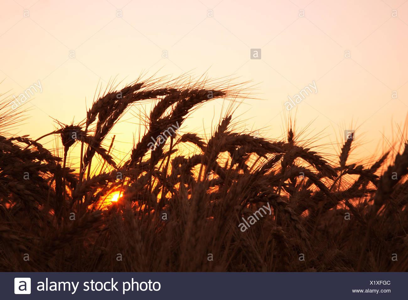 Agriculture - l'étape de la récolte à maturité du blé tendre rouge d'hiver à la fin du printemps au coucher du soleil / est de l'Arkansas, USA. Photo Stock