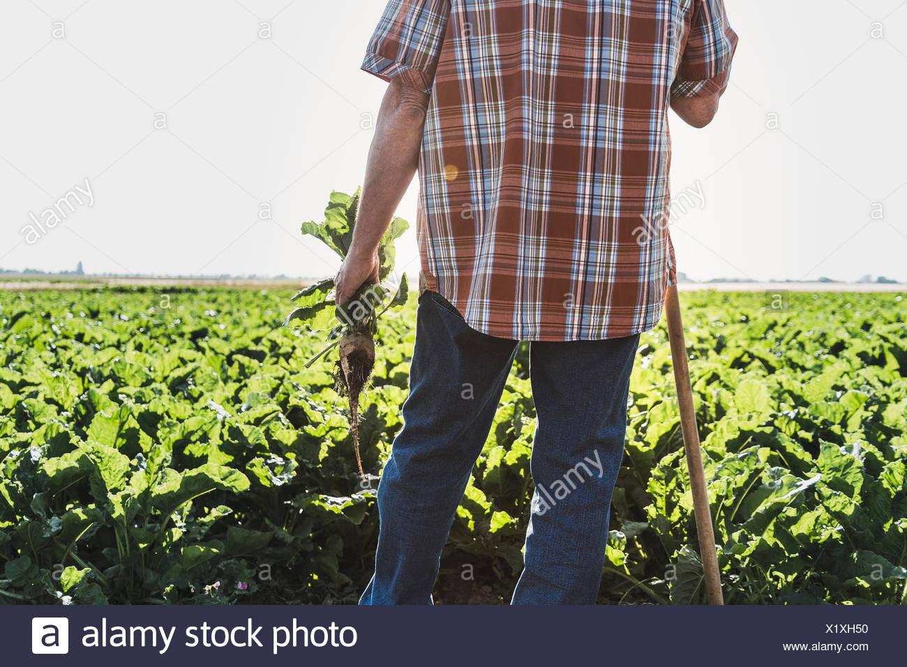 Vue arrière de l'agriculteur aux navets debout devant un champ, vue partielle Banque D'Images