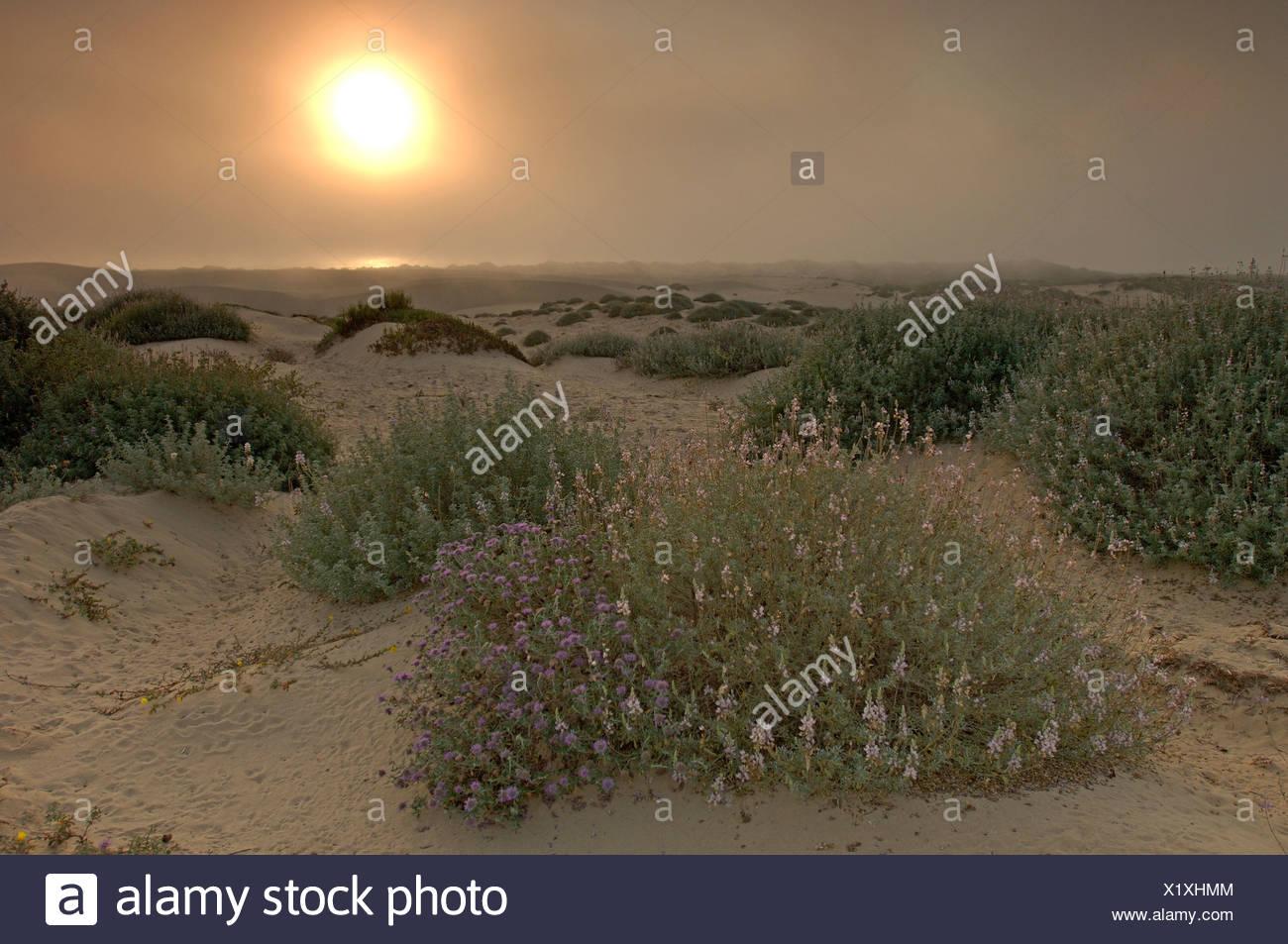 Oceano Usa Californie à Oceano Dunes Sunset construite par Crépuscule Fleurs Paysage Nature Paysage de dunes de sable plage pittoresque United States Banque D'Images