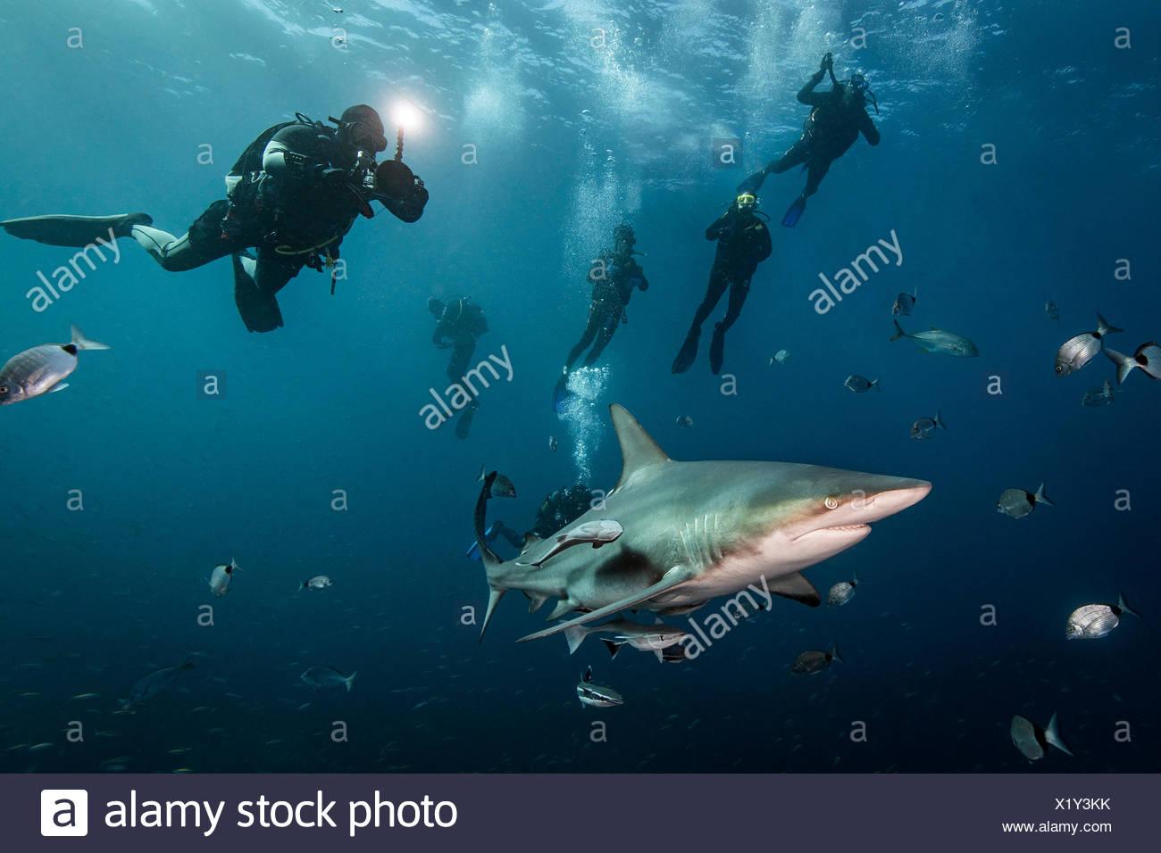 Les amateurs de plongée sous-marine' rencontre avec grande Oceanic Blacktip Shark (Carcharhinus limbatus), Afrique du Sud, d'Aliwal Shoal Photo Stock