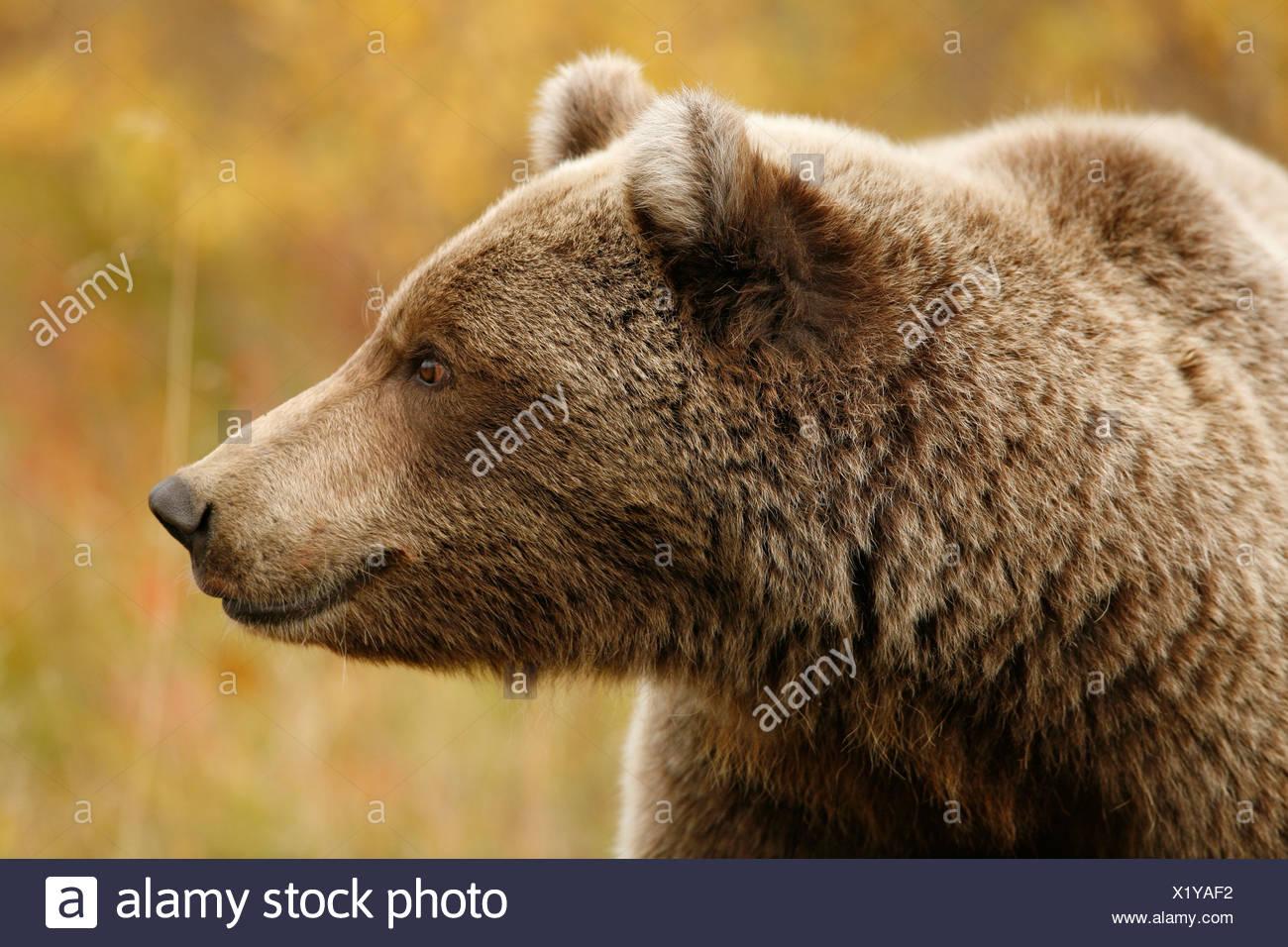 Ours brun, Ursus arctos, automne, l'alimentation, la toundra alpine, le parc national Denali, en Alaska. Photo Stock